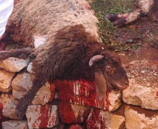 Swacrificial lamb